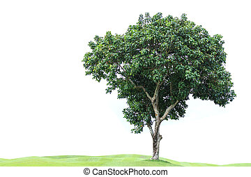 Tree in golf course isolated on white background - Big tree...