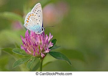 azul,  (polyomathus, común,  icarus)