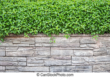 Pattern of natural stone wall and green ivy. Garden...
