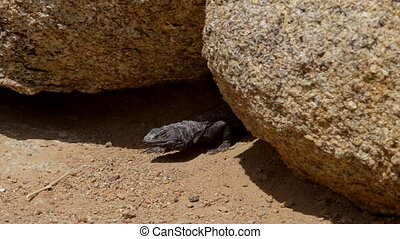 Chuckwalla Lizard Alabama Hills close-up - Chuckwalla lizard...