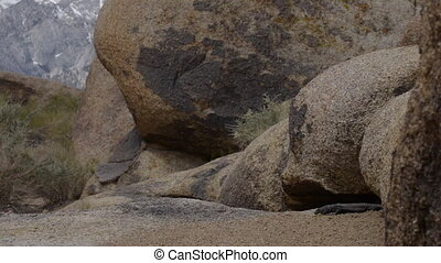 Chuckwalla Lizard Alabama Hills wide angle - Chuckwalla...