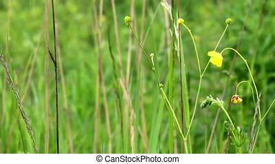 meadow grass close-up - close-up grass and yellow flowers at...