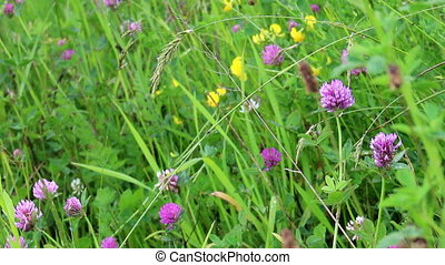 red clover (Trifolium pratense) - pink flowers of red clover...