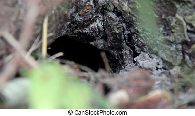 nest of wasp (Vespula vulgaris) - close-up entrance to the...