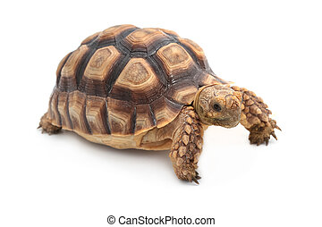African spurred sulcata Tortoise, Geochelone sulcata, on...