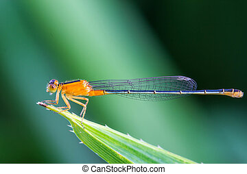 Orange damsel Flies on green leaf