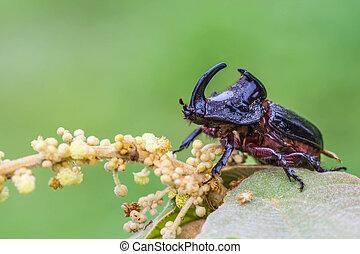 Rhinoceros Beetle (Oryctes nasicornis) on green leaf