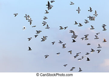 Sport carrier pigeons in flight - Flock of sport carrier...