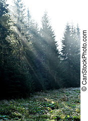 Beams of morning sunlight in a deep, dark forest