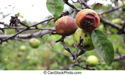 rotten apple hanging on a branch - rotten apple hanging on a...