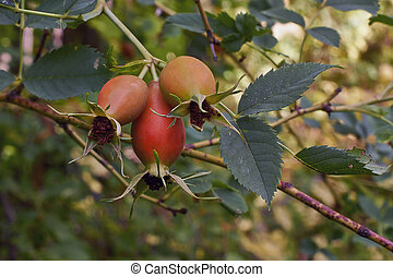 Ripe rose hips in the garden. - Ripe rose hips in the autumn...