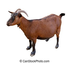 goat. domesticated, brown color. top view. Isolated over...