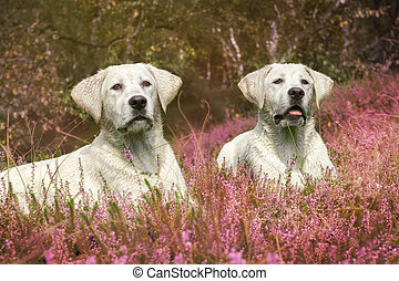 two cute labrador dog puppies on field with violet flowers -...