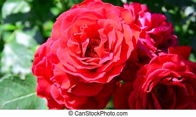bee pollinates a bouquet of red roses - A bee pollinates a...