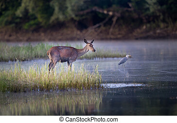 Hind at river coast - Hind red deer female standing beside...