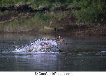 Hind running in shallow water - Terrified hind red deer...