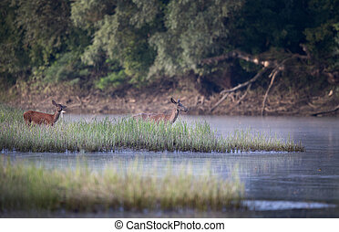 Hinds at river coast - Two hinds (red deer females) walking...