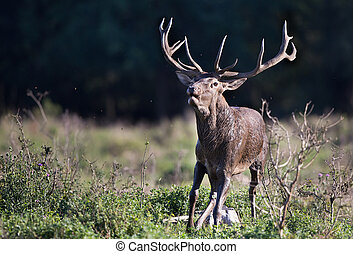 Red deer roaring - Big strong red deer running and roaring...
