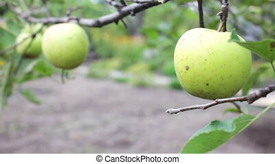 Young small green apple close up HD stock footage.