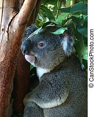 Koala in Queensland, Australia - A Koala Phascolarctos...