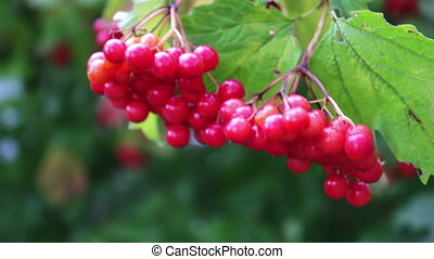 Viburnum opulus ripe red berries closeup