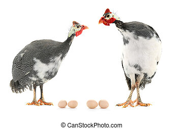 Guinea fowl and egg isolated on a white background in...