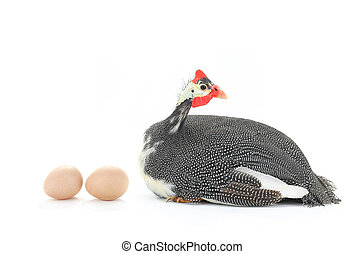 Guinea fowls and egg isolated on a white background in...