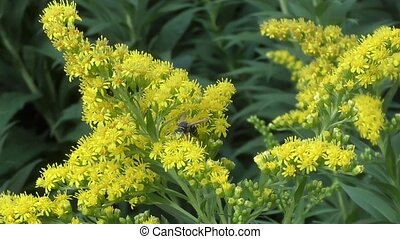 Insect collects nectar on yellow fl