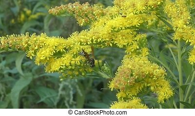 Insect collects nectar on yellow flower - Insect collects...