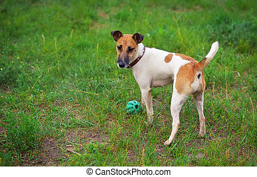 Fox terrier dog with a ball on green glade