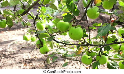 Young small green apple close up HD stock footage. - Green...
