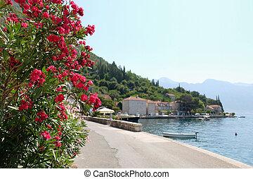 Oleander flowers in town of Perast, Kotor Bay, Montenegro