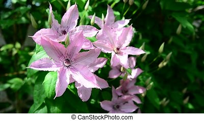 Pink flowers of clematis close-up - Pink flowers of...