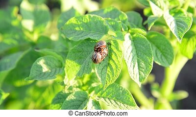 Adult Colorado potato beetles on leaves