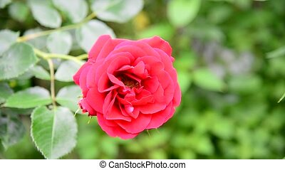 One red rose in flowerbed - Beautiful red rose bush in a...