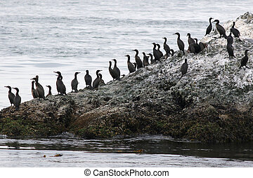 Brandts Cormorants on the Shore