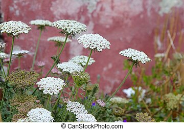 wild carrot daucus carota flower balearic islands - wild...