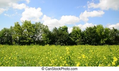 summer meadow with yellow flowers of rapeseed in Russia -...