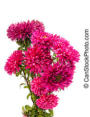 a bouquet of asters isolated on white background