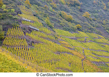 vineyards in Moselle River Valley, Rheinland Pfalz, Germany