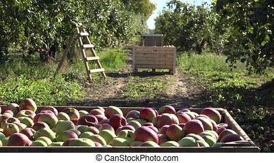 wooden box full of ripe red apple fruit plantation at autumn. 4K