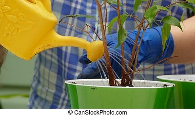 Housewife Watering Plant After Planting - CLOSE UP shot of a...
