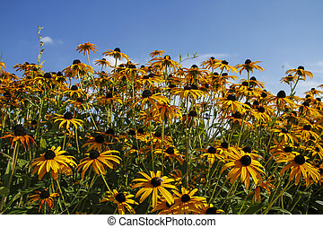beautiful yellow flowers (coneflowers, black-eyed-susans)...