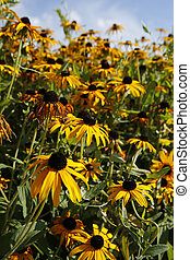 beautiful yellow flowers (Rudbeckia, coneflowers) -...