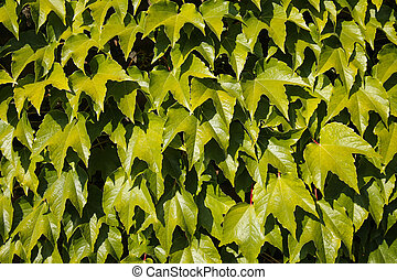 ivy vine background