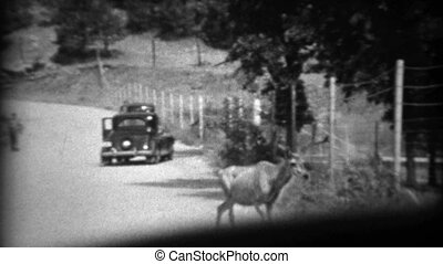 1937: Whitetail deer in road - 100% classic vintage 8mm film...