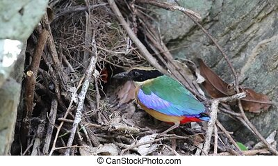 Blue-winged pitta (Pitta moluccensis) nesting in...