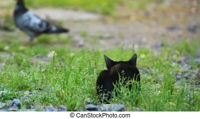 Black Kitten hunting a pigeon