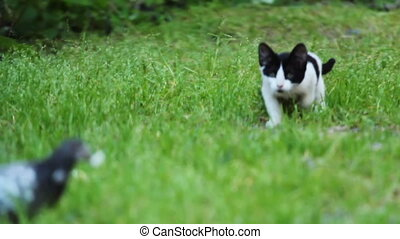 Black and white Kitten hunting a pigeon on Green Grass