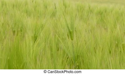 Green Wheat Ears Dancing With The Wind - CLOSE UP shot of...